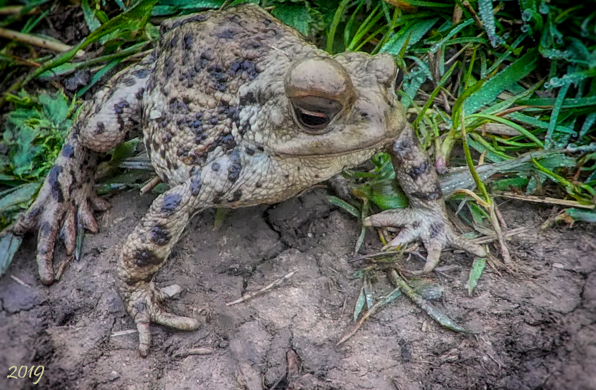 7_20190407CommonToad2_7m